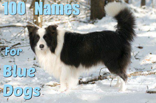 100 Nomi univoci per cani blu e grigi
