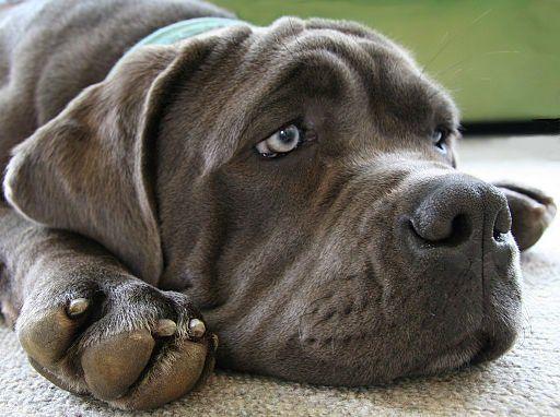 Blue Mastiff di nome Lucy appare sicuramente blu in questa foto.