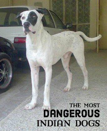 11 Cani indiani più pericolosi