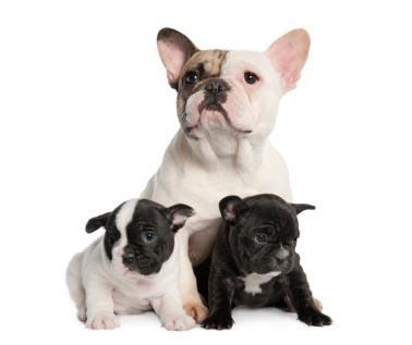 Adopt a french bulldog