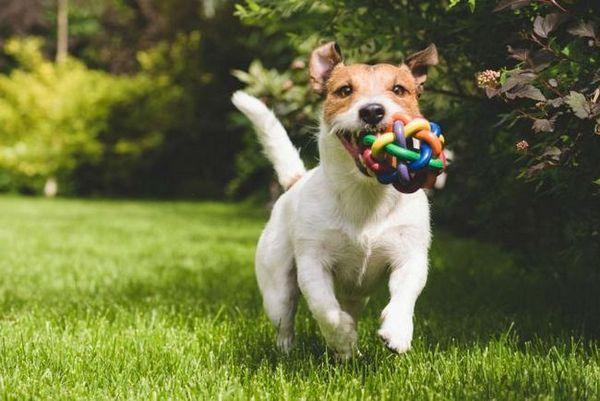 Giocattoli di cane fatti americani