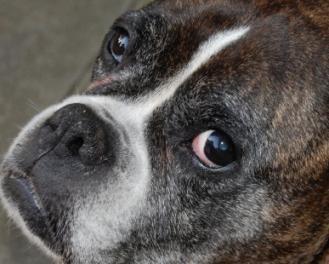 Trattamento di filaria canina