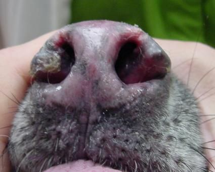 Lupus canino