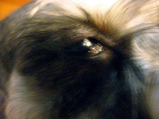 Cause di kcs o secchezza oculare e diagnosi di un cane