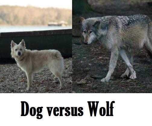 Differenze tra cani e lupi