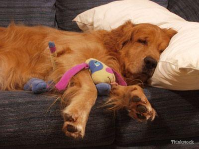 Cane che dorme sul cuscino