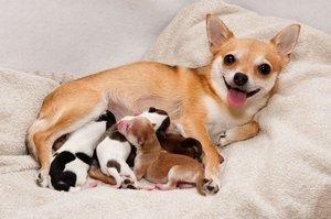 Allevamento di cani per principianti