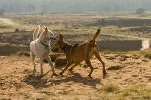Combattimenti di cani