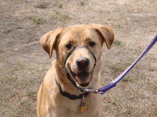 Addestramento del cane: pro e contro dell`uso di un cane halti