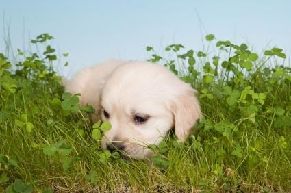 Cani che mangiano erba