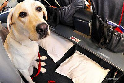 Cane su un aereo