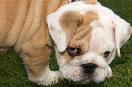 Salvataggio bulldog inglese
