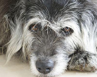 Vecchio cane recante