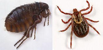 Flea e differenza di zecca