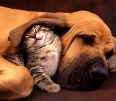Morsi delle pulci su cani e gatti - Come sapere se il vostro animale domestico ha le pulci