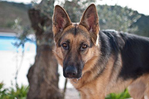 Trattamento domiciliare per il cancro dell`orecchio nei cani
