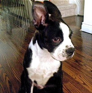 cancro alle orecchie dei cani