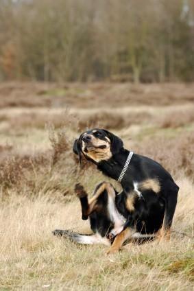 Pulci di cane che graffiano