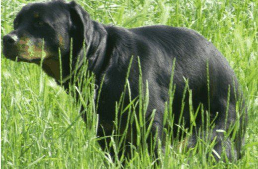 Come svezzare un cane con i rilievi di addestramento del cane e farli andare fuori al vasino