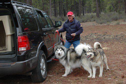 È un cane alaskan malamute adatto a te?