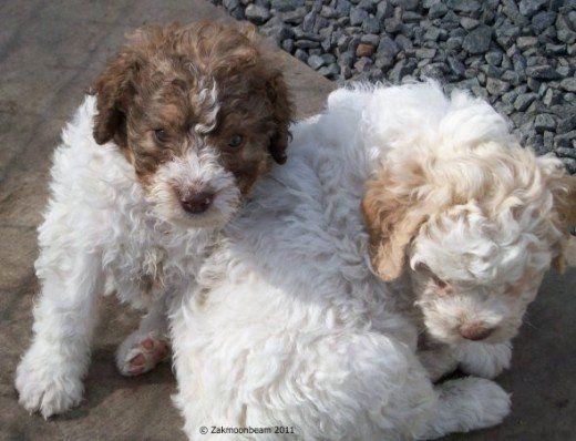 Vivere con un lagotto romagnolo, la lanosa razza di cane anallergico!