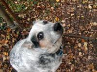 Malattia di Lyme nei cani