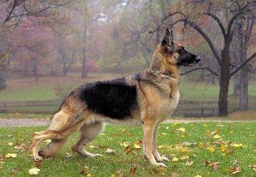 Il mio pastore tedesco zoppica