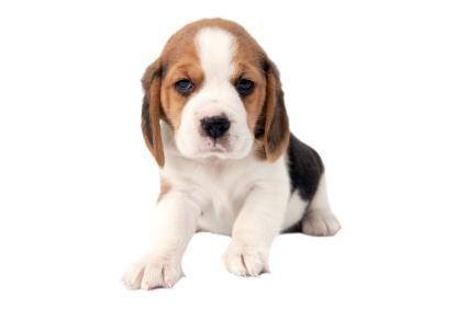 Cuccioli di beagle tascabili