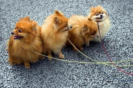 Cani di Pomerania