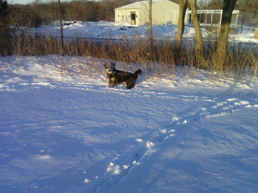 Prevenire le palle di neve e le palle di ghiaccio nei cuscinetti del piede del cane