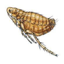 Pulci di ratto - morsi di xenopsylla cheopis o nosopsyllus fasciatus