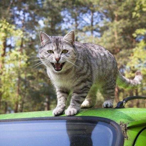 Raccomandazioni per viaggiare in auto con un gatto