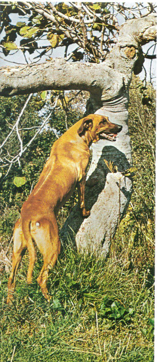 Rhodesian ridgeback - te lo hai chiesto e ora ce l`hai