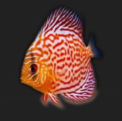 Segreti di allevare pesci discus