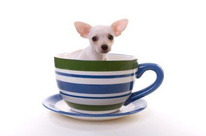 Il più piccolo cane registrato