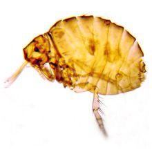 Pulci ermetici - punture di echidnophaga gallinacea