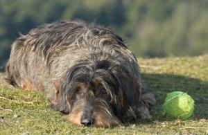 Sintomi di vermi di cane