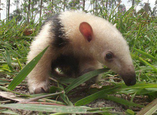 Il tamandua: un formichiere unico e un animale domestico speciale