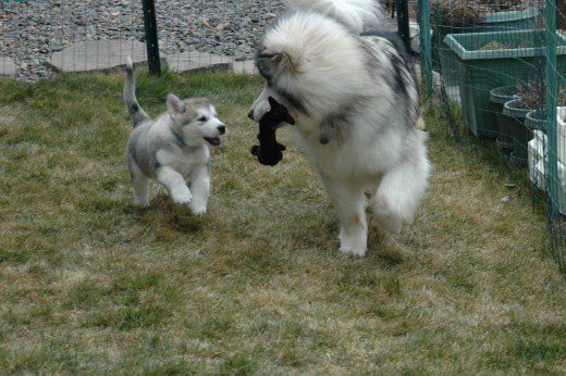 Suggerimenti per portare a casa un cucciolo di malamute in base alla mia esperienza