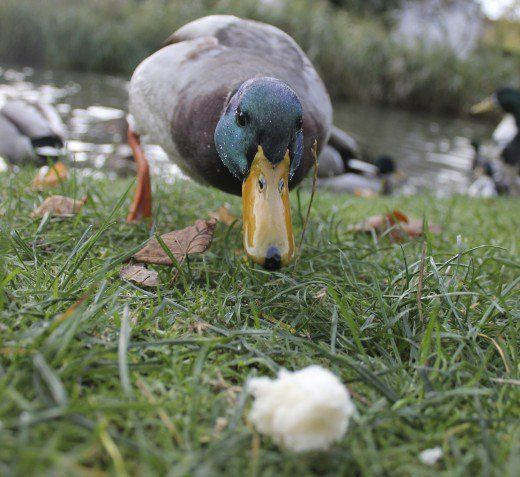 Top 10 duck snacks