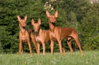 Tipi di cani segugi