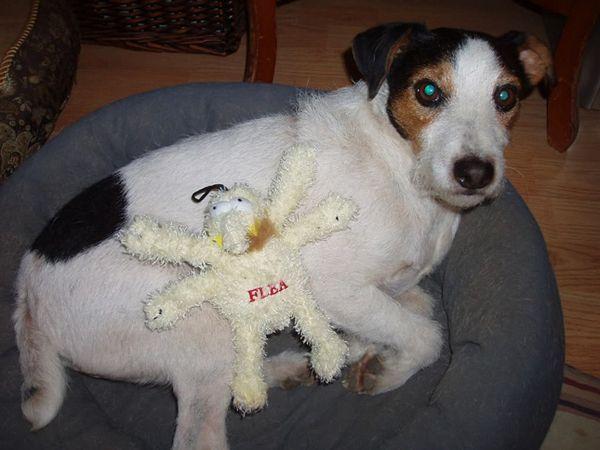 cane morde delle pulci