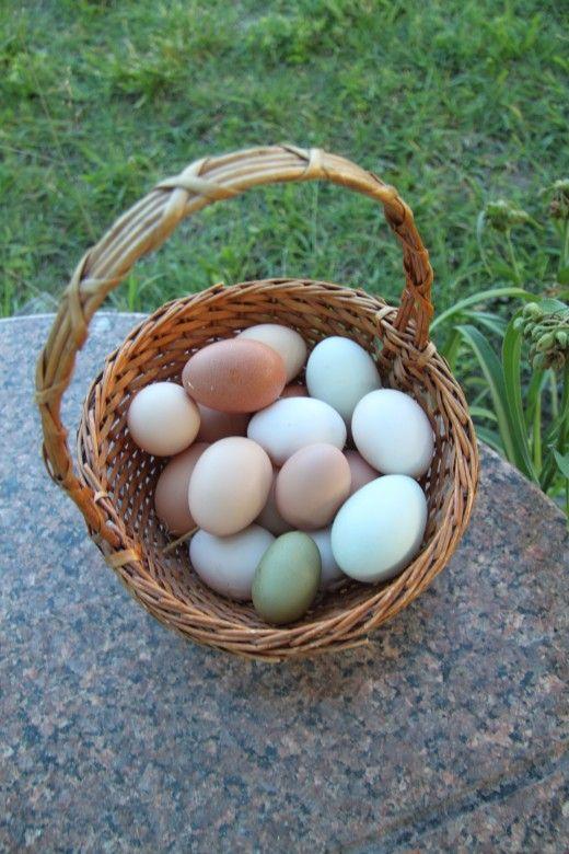 Cosa fare quando la tua gallina è una mangiatrice di uova