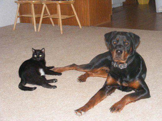 Razze di cani che non vanno d`accordo con i gatti