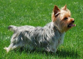 Salvataggio Yorkshire terrier